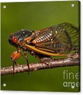 17-year Periodical Cicada I Acrylic Print