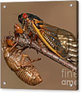 17-year Periodical Cicada II Acrylic Print