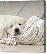 Golden Retriever Puppy Acrylic Print