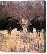 Moose Acrylic Print by Art Wolfe