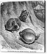 1892 Art Print Animal African Mozambique Rain Flat-face Frog Acrylic Print