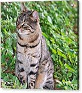 Cat In Hydra Island Acrylic Print
