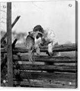1920s English Setter Dog Climbing Acrylic Print