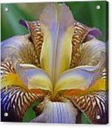 1st Iris Acrylic Print