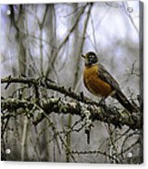 1st Robin Of Spring Acrylic Print