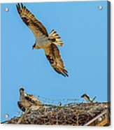 3 Ospreys At The Nest Acrylic Print