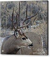 4x4 Mule Deer Buck Acrylic Print