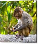A Baby Macaque Eating An Orange Acrylic Print
