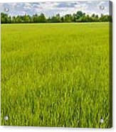 A Field Of Green Wheat Under A Cloudy Sky Acrylic Print