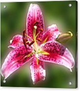 A Lilly For You Acrylic Print