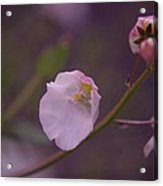 A Soft Flower Acrylic Print