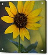 A Sunflower  Acrylic Print