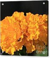 African Marigold Named Crackerjack Gold Acrylic Print