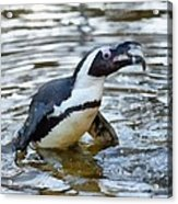 African Penguin Eating Fish Acrylic Print