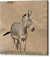 African Wild Ass Equus Africanus Acrylic Print