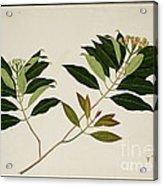 Album Of Drawings Of Plants Acrylic Print