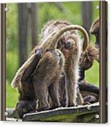Almost Human    Gelada Baboons Acrylic Print