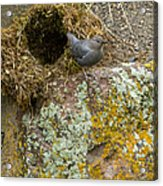 American Dipper And Nest   #1487 Acrylic Print