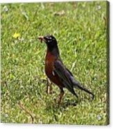 American Robin Gathering Worms Acrylic Print