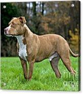 American Staffordshire Terrier Acrylic Print