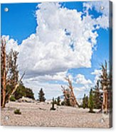 Ancient Panorama - Bristlecone Pine Forest Acrylic Print