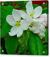 Apple Blossoms Acrylic Print