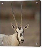 Arabian Oryx Oryx Leucoryx Acrylic Print