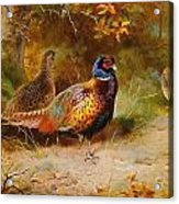 Autumn Covert Pheasants Acrylic Print