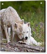 Arctic Wolves Acrylic Print