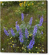 Arrowleaf Balsamroot And Lupine Acrylic Print