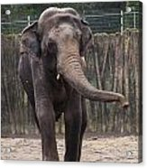 Asian Elephant Acrylic Print