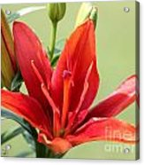 Asiatic Lily Named Red Twin Acrylic Print
