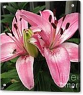 Asiatic Lily Named Vermeer Acrylic Print