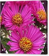 Aster Named September Ruby Acrylic Print