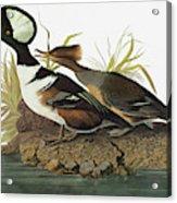 Audubon Merganser Acrylic Print