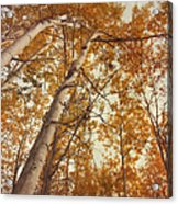 Autumn Aspens Acrylic Print by Priska Wettstein