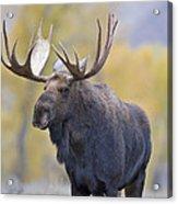 Autumn Bull Moose IIi Acrylic Print