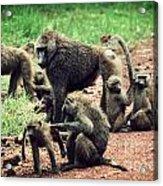 Baboons In African Bush Acrylic Print