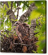 Baby Red Shouldered Hawk In Nest Acrylic Print