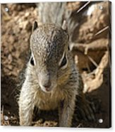 Baby Rock Squirrel Acrylic Print