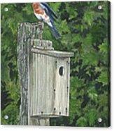 Backyard Bluebird 2 Acrylic Print