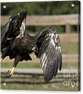 Bald Eagle In Flight Photo Acrylic Print