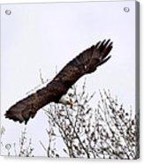 Bald Eagle Soaring Acrylic Print