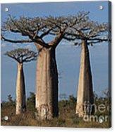 baobabs of Madagascar Acrylic Print