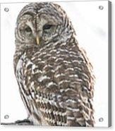 Barred Owl Acrylic Print