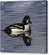 Barrows Goldeneye Acrylic Print