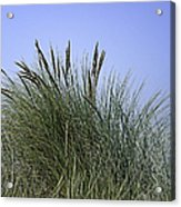 Beach Grass Acrylic Print