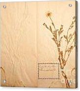 Beautiful Dried Vintage Flowers Acrylic Print