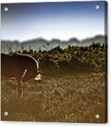 Beautiful Image Of New Forest Pony Horse Backlit By Rising Sun I Acrylic Print