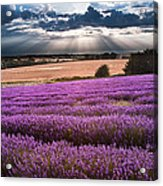 Beautiful Lavender Field Landscape With Dramatic Sky Acrylic Print